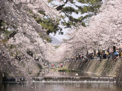 夙川公園のサクラ1
