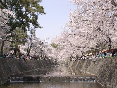 夙川公園のサクラ2