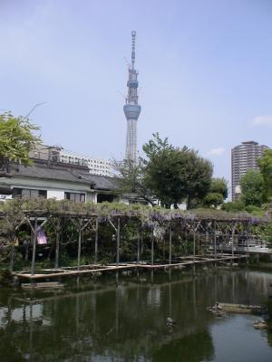 亀戸天神の藤の花と東京スカイツリー