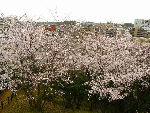 満開の桜を見下ろせます!