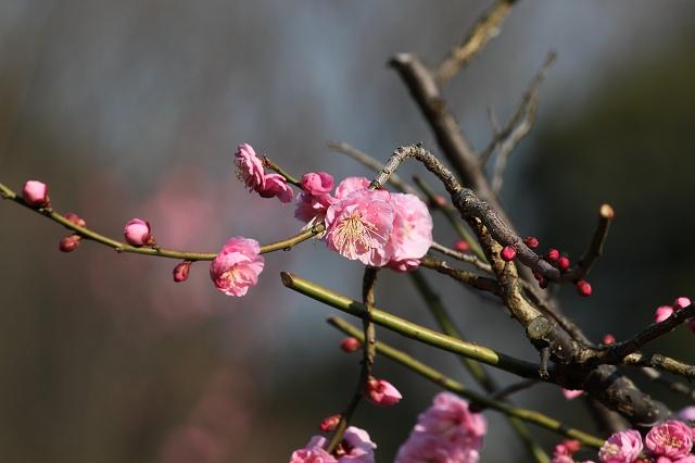 枝垂れ梅がかわいい!