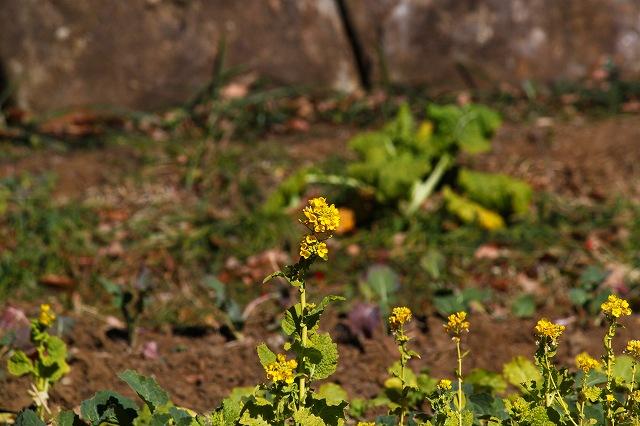 黄色い菜の花咲いて・・・