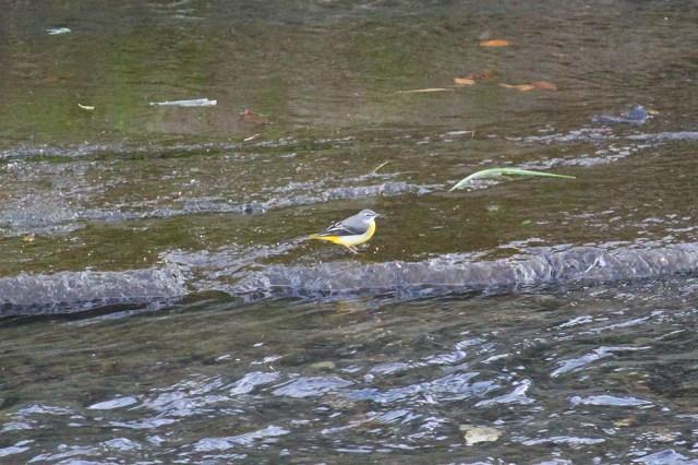 黄色い羽色が鮮やかなキセキレイ