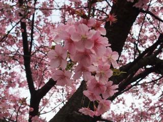 2010 3.3 桜