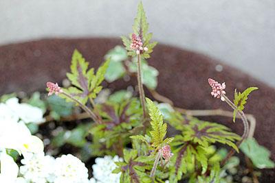 ヒューケラのお花