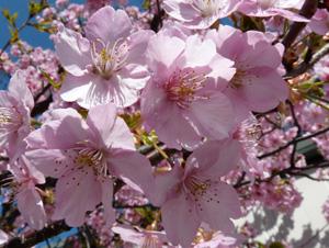 桜2P1040425