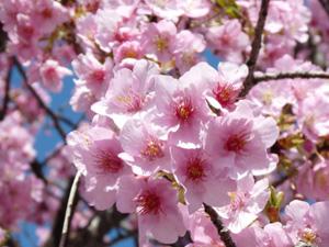 桜4P1040426