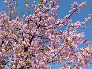 桜3P1040417