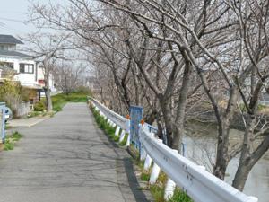 桜並木4P1040570