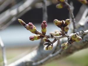 桜並木3P1040578