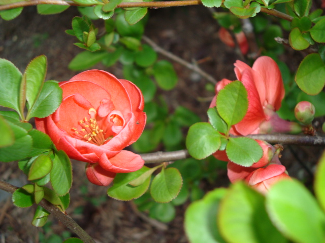 10-3-木瓜の花.JPG
