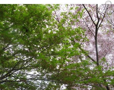 もみじと桜
