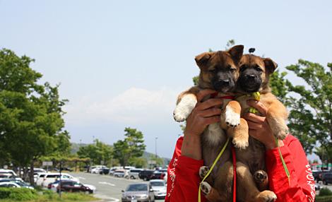 富士山のような犬になれ!