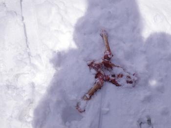 森学 問牧歩くスキー鹿の頭蓋骨 (350x262)