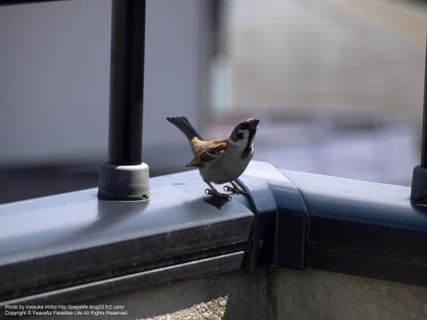 上を見上げる雀
