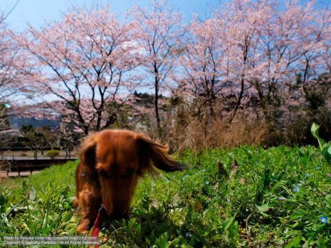 草に夢中なミッキー