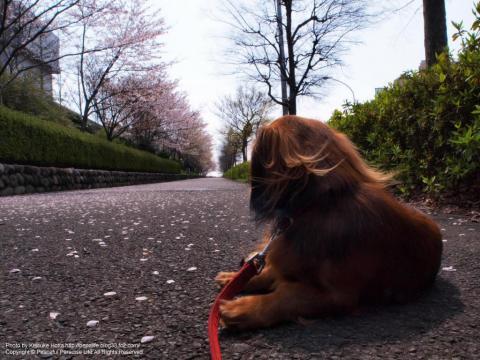 お花見をする犬