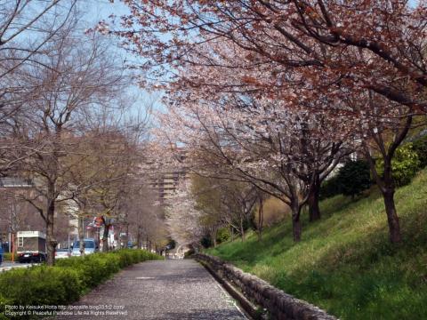 緑園都市の桜
