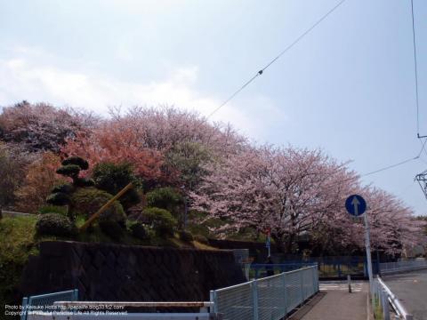 横浜緑園総合高等学校の坂の下の桜