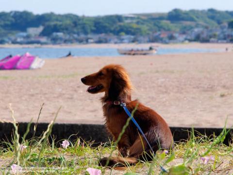 三浦海岸と犬