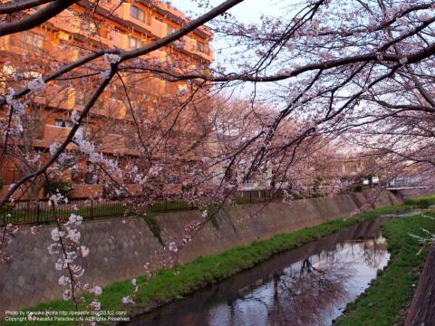 阿久和川の桜