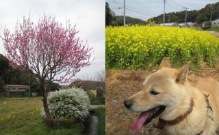 momoちゃんと梅の花