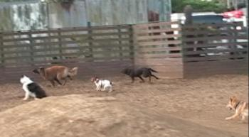 大型犬を追い回す大勢のワンコ