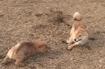 柴犬と遊ぶ海君