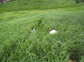 9月6日背の高い雑草をウサギのように走る