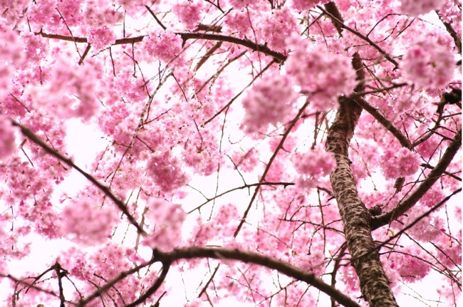 '10桜100