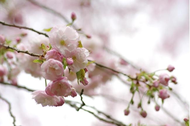 '10桜121