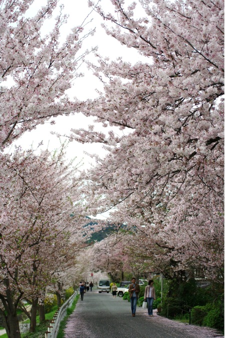 2010sakura157