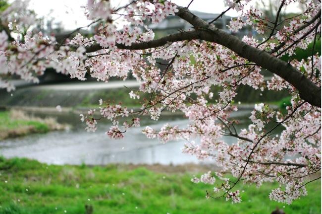 2010sakura161