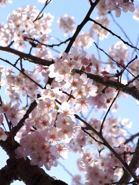 '10桜29
