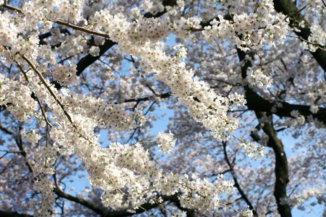 '10桜33