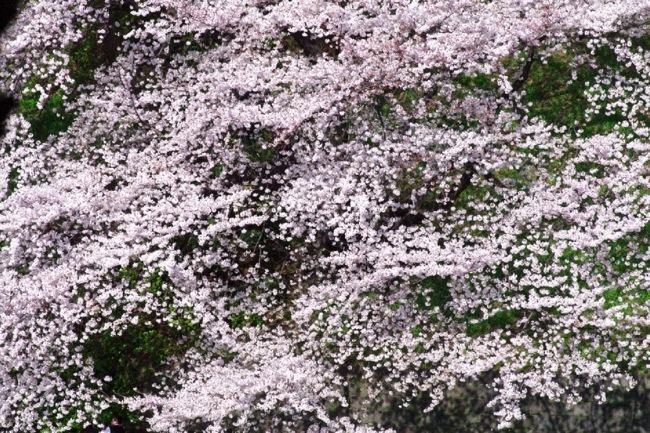 '10桜39