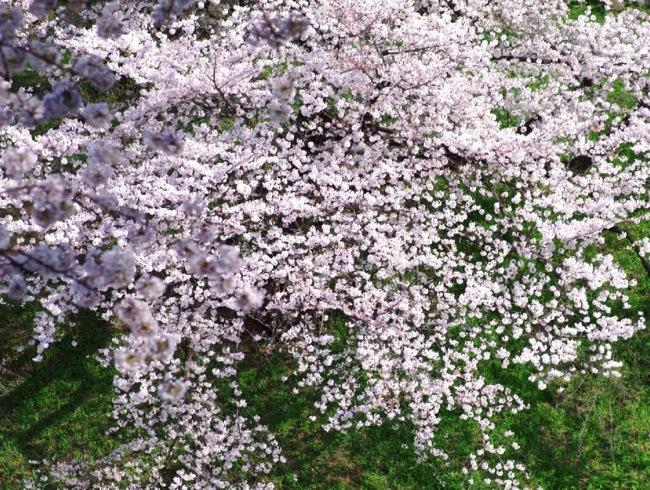 '10桜46