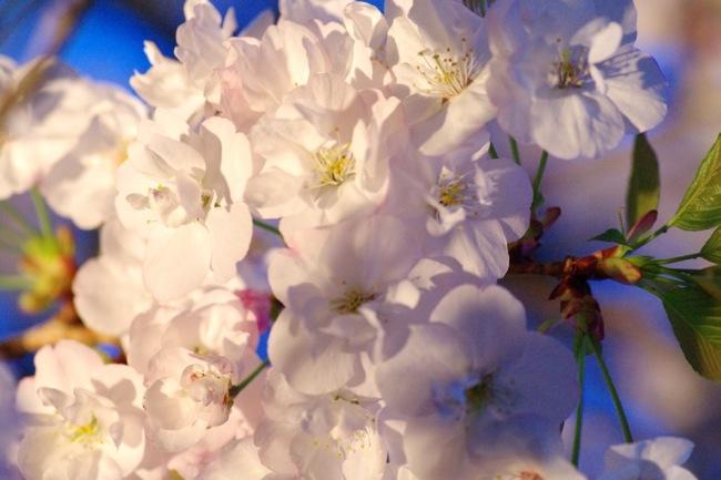 '10桜61