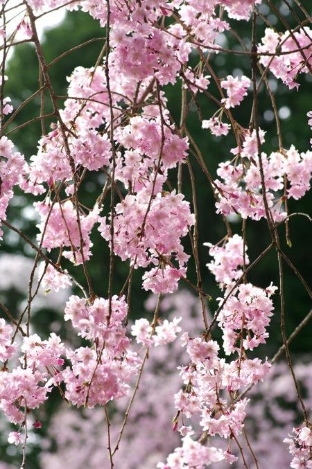 '10桜75