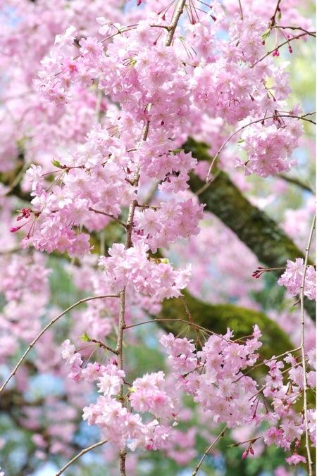 '10桜76