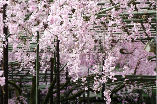 '10桜77