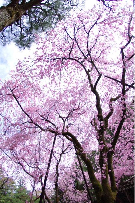 '10桜80