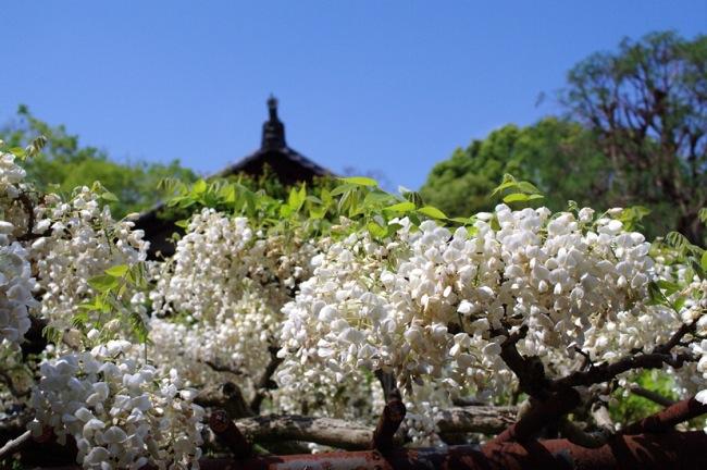 京都奈良真春33