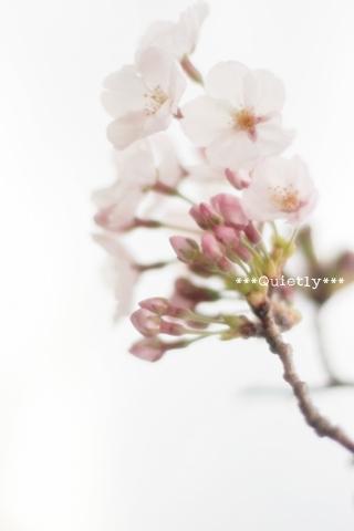 20110407sakura01.jpg