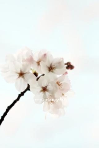 20110407sakura03.jpg