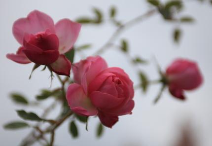 rose2000