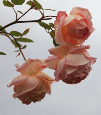 rose2001