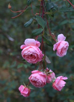 rose2002