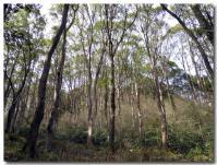 クスノキの純林-2-