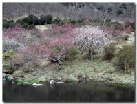 湯河原梅祭り-1-